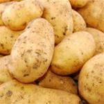 Pommes de terre nouvelles – Apollo (1kg)